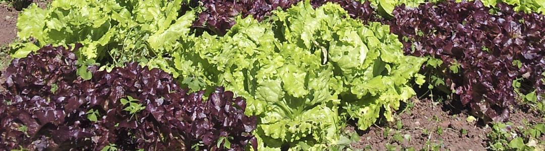 horticultura, huerto, vida sana, cultivo