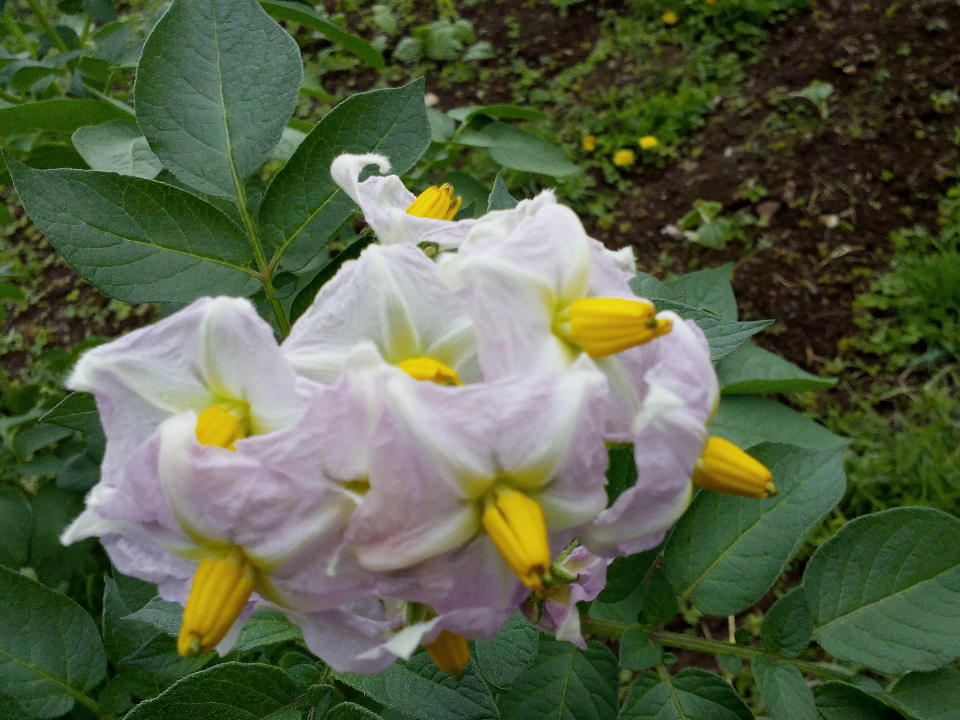 patatas, cultivo, bidon, horticultura